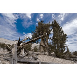 Ancient Bristlecone 2