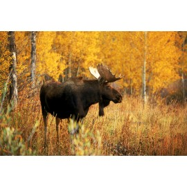 Fall Teton Moose