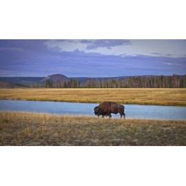 Lone Buffalo, Yellowstone